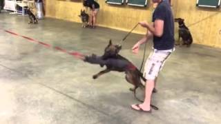 """Red Sable German Shepherd """"jango"""" Protection Obedience Trained Dog For Sale"""