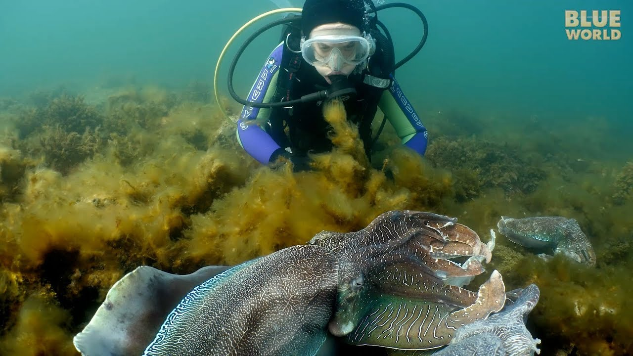 Giant Australian Cuttlefish!   JONATHAN BIRD'S BLUE WORLD