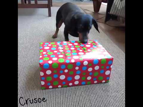 Crusoe Opens Gifts on Christmas Morning