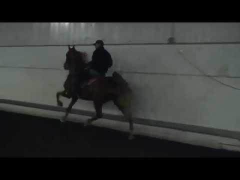 War Hart American Saddlebred Junior 5-gaited geldi...