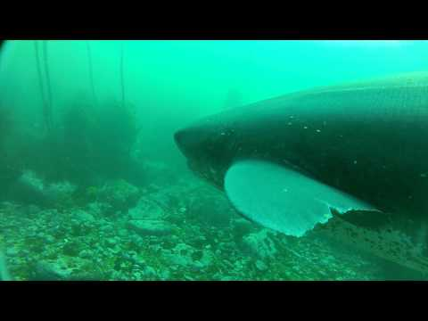 Seven Gill Sharks: Cape Town South Africa