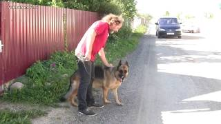 Как отучить? Немецкая овчарка Рада (5 лет) лает на собак и автомобили
