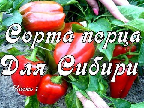 Лучшие Сорта Перца для Сибири 2020. Перец выращиваю в теплице. Видео Часть 1 | выращивание | урожайный | теплице | урожай | сибири | сибире | перрец | огород | сорта | перца
