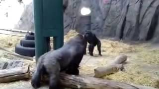 Gorilla Fight or not  !!The biggest battle of 2010