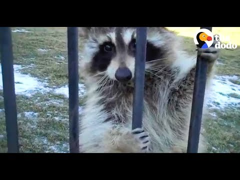 Raccoon Won't Leave Guy's Yard | The Dodo