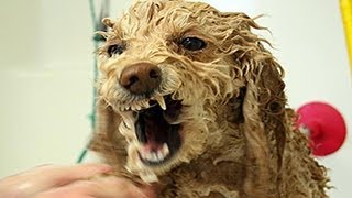 Lustige Hunde hassen zu baden - Hunde mögen nicht  Baden Compilation 2014 möchte nicht