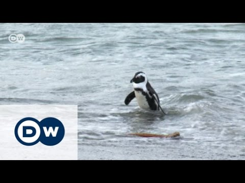 African Penguins under threat | Eco-at-Africa