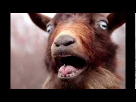 Goat Ringtone
