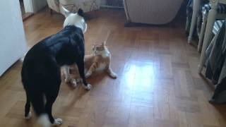 Cat vs dog wrestling