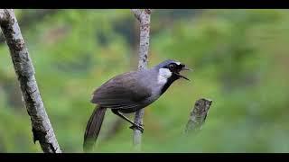 Khướu mái ro kích trống (không tạp âm) - Kênh chim cảnh tổng hợp