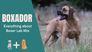 Boxador – Everything about Boxer Lab Mix
