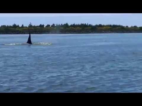 Orcas in Tillamook Bay