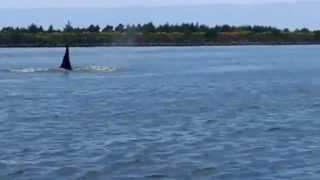 Orcas in Tillamook Bay