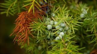 Ardıç Katranı Ağacı Nedir, Neye İyi Gelir, Faydaları Nelerdir?