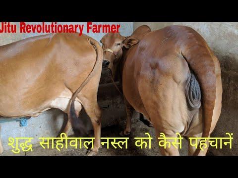 Dairy के लिए गाय की कौन सी नस्ल है सबसे लाभदायक.  SAHIWAL COW Breeder-Sh.शेरसिंह - 9729972621.