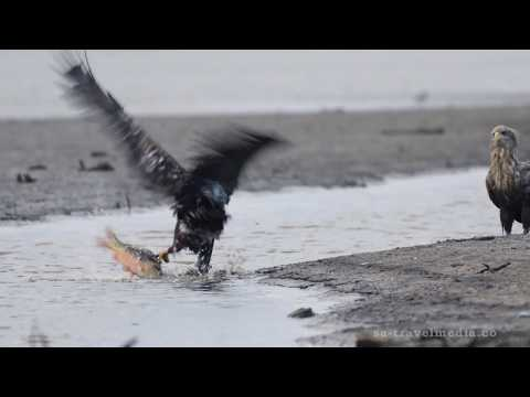 """White tailed Eagles"" part 2   ""Young white tailed eagles school"""