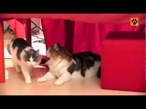挪威森林貓 Norwegian Forest Cat 飼養及護理【My Pet寵物閑情】