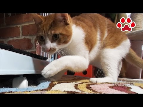 A cat hiding a mouse 【Cats room Miaou】