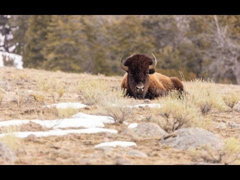 Woman injured by bison at Yellowstone