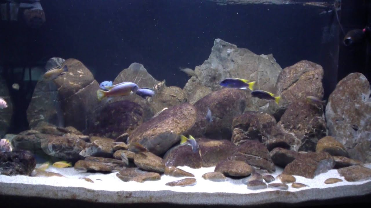 Malawi cichlid (mbuna) biotope tank 1200 liters - clip - YouTube