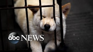 Repeat youtube video Chinese Dog Meat Festival | Undercover Cameras Reveal Brutality