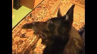 Собака слушает звуки