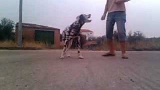 Dálmata Brujo Haciendo Paso Español. This Dog Can Do The Spanish Walk!