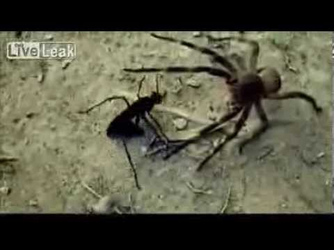 Brazilian wanderer spider vs tarantula hawk wasp scary nature
