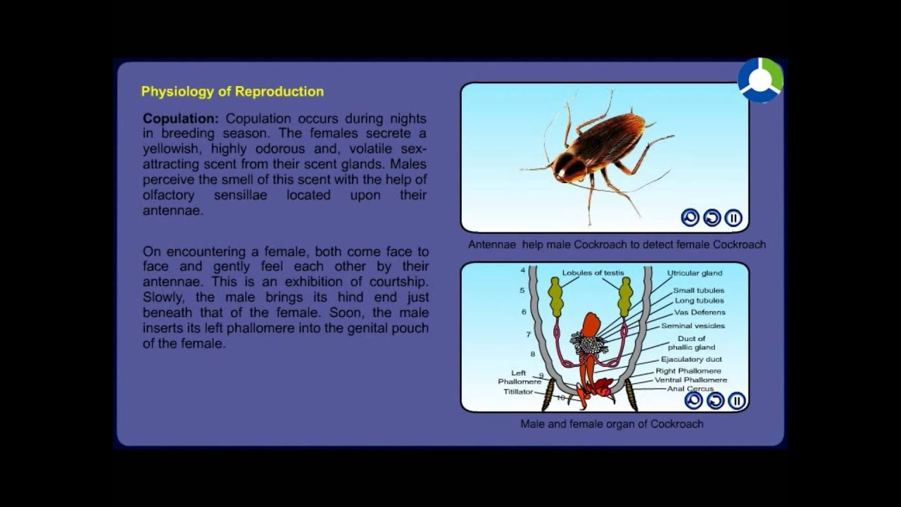Cockroach reproductive system youtube cockroach reproductive system ccuart Image collections