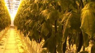 Огурцы 2.mpg(, 2010-03-16T08:17:07.000Z)