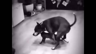 Котопёс. Кошачьи шалости. Стаффорд vs Лысой