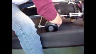Paralyzed Dachshund Uses Dog Wheelchair On Dogtread