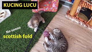 Cat Video in 4K Ultra HD Format. Happy Scottish Fold Little Kittens Playing With Ball