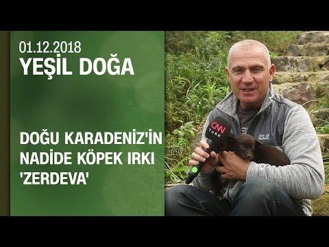 Doğu Karadeniz'in nadide köpek ırkı 'Zerdeva'ya dair her şey - Yeşil Doğa 01.12.2018 Cumartesi