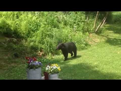 Little Gray Cat vs Black Bear New Hampshire