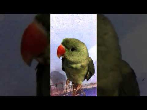 alexandrine parrots baby talking training mittu….9