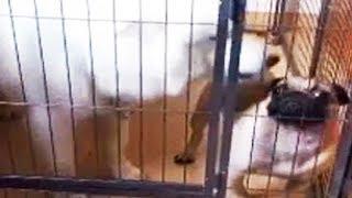 Not so tough now You PUG - Small Dog VS Big Dog - Dog Funny Video