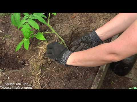 СДЕЛАЙТЕ ЭТО ПРИ ПОСАДКЕ ТОМАТОВ И ПОДКОРМКИ БУДУТ НЕ НУЖНЫ! | выращивание | вырастить | посадить | помидоры | томатов | посадка | томаты | тматов | способ | новый
