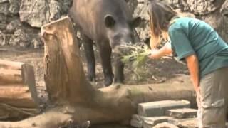 Новорожденный тапир стал звездой зоопарка