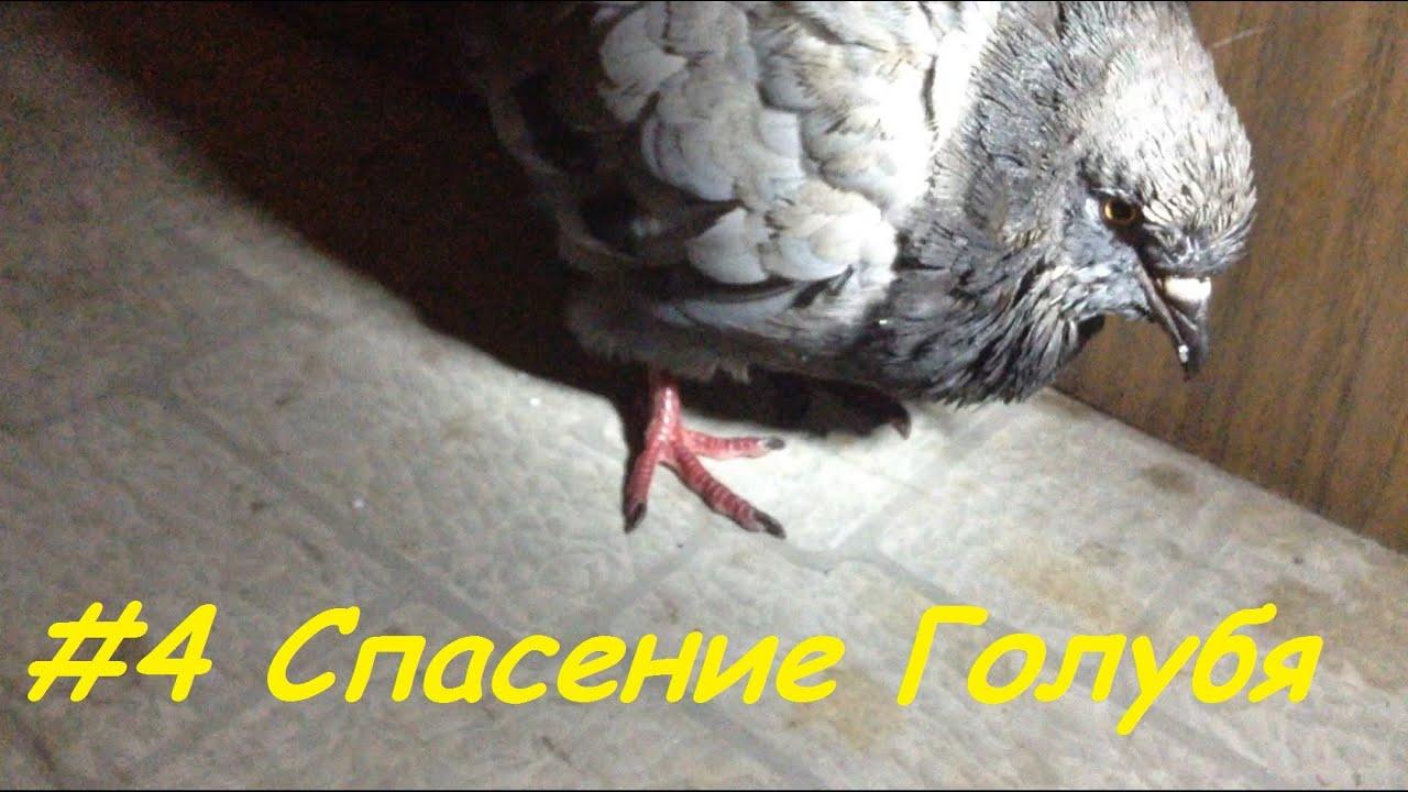Как кормить маленького голубя в домашних условиях