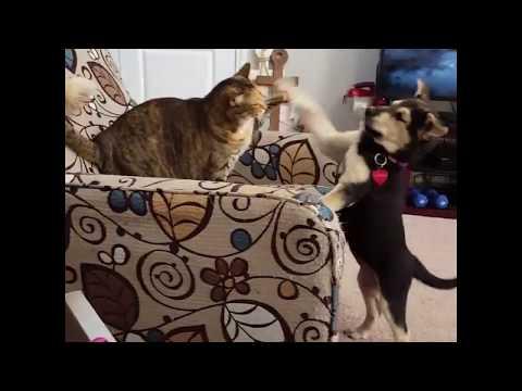 Dog vs Cat- Puppy Video- Funny