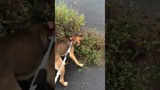 屋久島犬の血を引く猟犬ハルの散歩風景。 落ちてた栗を見つけてボールで...
