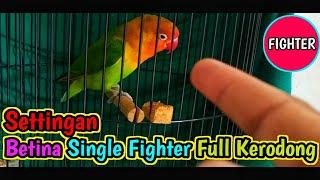 Download lagu Settingan Lovebird betina single fighter full kerodong