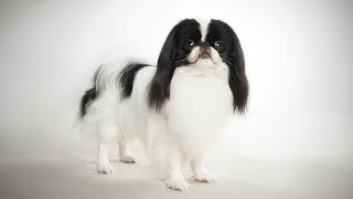 ABC Canino  Spaniel Japonês (Japanese Chin)  legendado português.