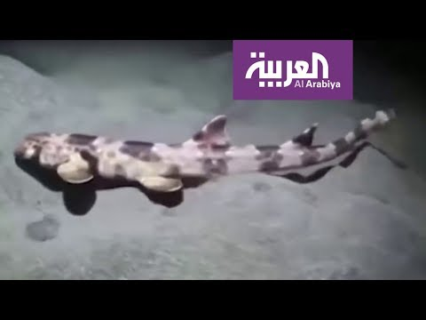صباح العربية | اكتشاف أسماك القرش يمكنها المشي  - نشر قبل 1 ساعة