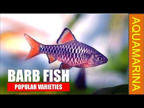 Top 10 Popular Varieties Of Barb Fish | Types Of Barb Fish | Most Colourful Barb || Aquamarina