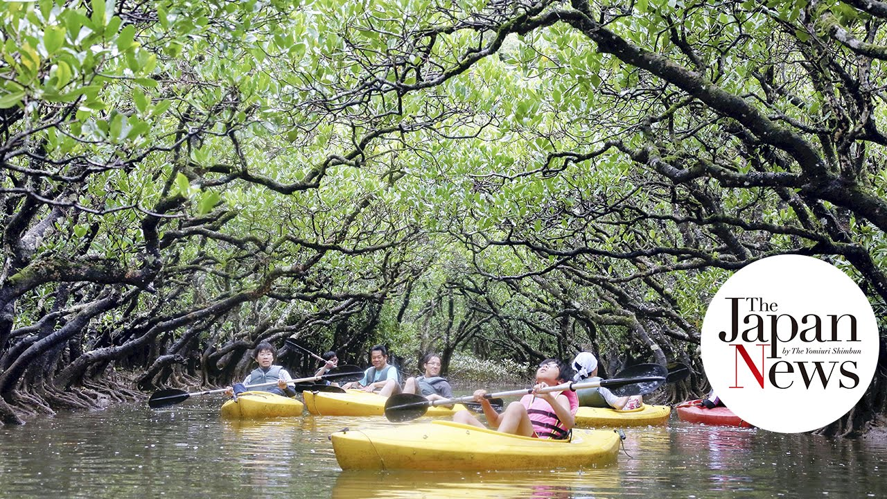 Amami Island Japan  city images : Amami Island mangrove forest in The Japan News YouTube