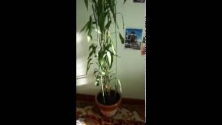 Тростниковый бамбук ( 7 лет) или драцена Сандера, цветок счастья :-) 26.06.16.(, 2016-06-26T17:13:34.000Z)