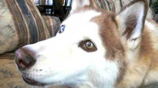 "Talking Tubok, Siberian Husky says ""I love you"""