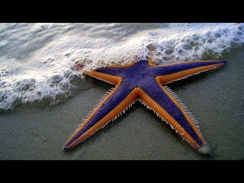 Starfish For Kids With Pronunciation (and With Photos)